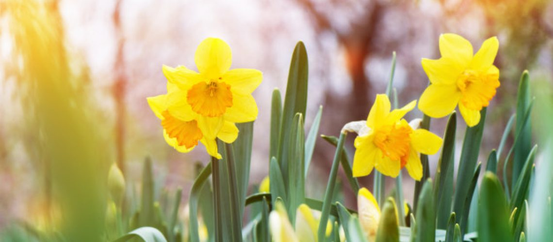 yellow-daffodil-narcissus-blooming-garden_127675-2729